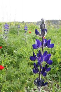 Turmus (Scientific: Lupinus Pilosus, Common: Blue Lupine, Family: Lupin) at Givat Hatermusim (Tel Socha in the Valley of Elah, Israel)