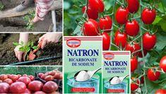 Cum sa folosesti bicarbonatul in gradina. Dupa ce vei vedea asta, nu vei mai renunta la el - BZI.ro Garden Pests, Ikebana, Vegetable Garden, Baking Soda, Vegetables, Crafts, Gardening, Mai, Decorative Garden Fencing