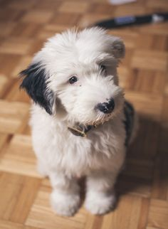 I think we've found our next baby! Sheepadoodle- old ...