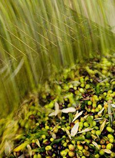 From harvest bin to hopper #oliveharvest