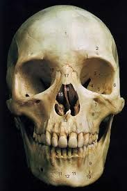 real human skull pictures - Google Search