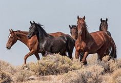 TELL BLM: PROTECT WILD HORSES DURING DROUGHT