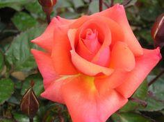 Edward's Rose