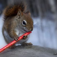 """""""Mom, this flute thing doesn't work!"""" - Squirrel w/Pencil - https://500px.com/popular?categories=Animals (04.05.15)"""