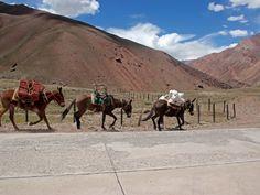 mulas llevando material hacia los campamentos base del Cerro Aconcagua
