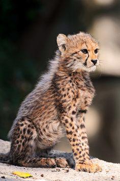 cheetah cub 14