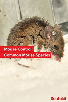 Deer Mouse Vs White Footed Mouse