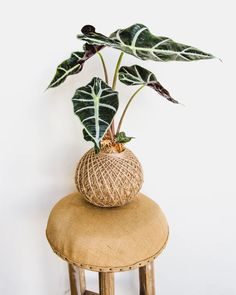 Begonia Maculata, Calathea, Plants Online, Red Arrow, White Butterfly, Potting Soil, Ficus, Nature Decor, Plants