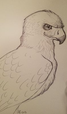 Red-tailed Hawk: doodles - New Sites Realistic Animal Drawings, Cool Art Drawings, Pencil Art Drawings, Bird Drawings, Art Drawings Sketches, Drawing Ideas, Drawing Animals, Sketches Of Birds, Easy Drawings