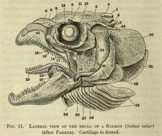 Salmon skull from 'The Vertebrate Skeleton', Sidney Reynolds, 1897