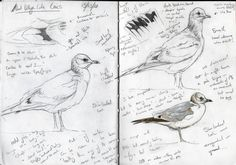 Steph' Thorpe. Bird Artist and Illustrator   Artwork of bird species from the British Isles and beyond (specialist in UK Rare birds)