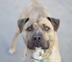 Brooklyn Center My name is RUSTIK. My Animal ID # is A1030670. I am a male br brindle and white am pit bull ter mix. The shelter thinks I am about 1 YEAR 9 MONTHS old. I came in the shelter as a OWNER SUR on 03/18/2015 from NY 11423, owner surrender reason stated was NEW BABY.  KILLED
