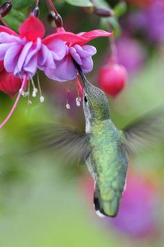 Female Anna's Hummingbird by David Irwin on 500px