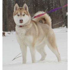Siberian Huskies ❤ liked on Polyvore featuring animals and pets