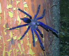 The Singapore Blue(Lampropelma violaceopes) is a large, colorful arboreal Tarantula found in Malaysia and Singapore.