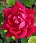 Double Red Knockout Roses by GreenwoodNursery.com