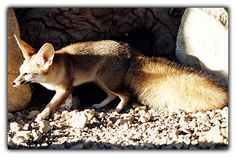 #Afghan_fox / #Jordan :  It is also known as , royal fox, dog fox.