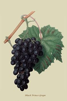 Black Prince Grape