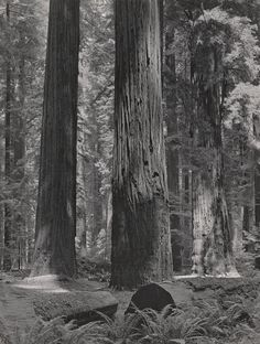 Coast Redwoods, Bull Creek Flat By Ansel Adams