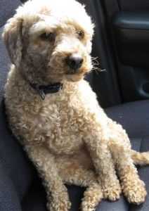 Pepe is a very cute toy poodle and behaves well most of the time. But he is devoted to his female owner and just goes wild when she brings shopping back to the car!