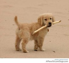 Cute Golden Retriever wants you to throw his stick