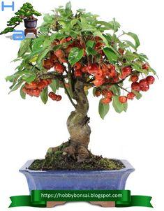 Le specie più utilizzate come bonsai sono il Malus evereste, sieboldii e il Malus halliana. Bonsai, String Garden