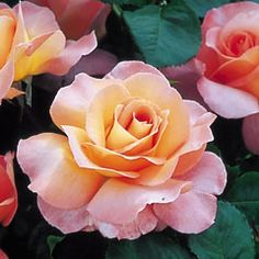 Paul Shirville - David Austin Roses So gorgeous; the first blooms are as big as saucers and divinely scented :)
