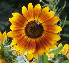 This honeybee loves the sunflowers.