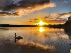Swan at Castle Loch in Dumfries and Galloway at sunset Waterfalls, Photo S, Swan, Scotland, Scenery, Castle, Therapy, Sunset, Nature
