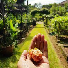 Buah surga yang ada di bumi. Buah Tin atau buah Ara  --- #happiness #ara #jakarta #urbanfarming