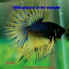 Rare Betta Fish | ... Betta If It Was Really Exotic? - Betta Splendens - Tropical Fish