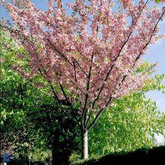 Japansk kirsebær (Prunus serrulata `Kanzan`) Opstammet
