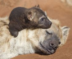Image result for hyena cubs