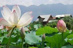 Lotus Blossoms in Kashmir