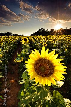 I want to grow a field of sunflowers like this! Favorite flower in da world.