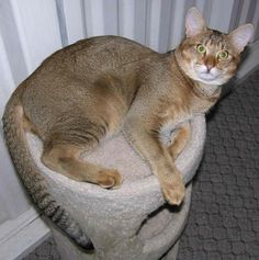 Savannah Cat Genus And Species