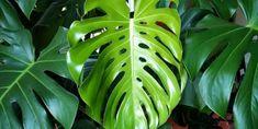A filodendron, könnyezőpálma (Monstera deliciosa) jellemzői, gondozása, szaporítása és betegségei Monstera Deliciosa, Plantar, Plant Leaves, Ideas, Gardens, Home, Unusual Plants, Rare Plants, Garden Box Raised