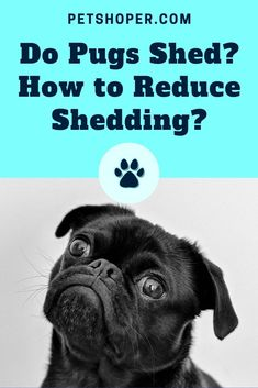 Yes, pugs do shed. Pugs are thought-out to be a heavy shedding breed. Their shedding happens year-round, unlike other breeds of dogs who shed seasonally. Big Dogs, I Love Dogs, Pug Information, Pug Breed, Fawn Pug, Baby Pugs, Group Of Dogs, Dog Books