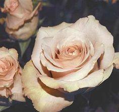 quicksand roses - beige-y