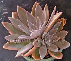 Echeveria 'Harry Watson'    A beautiful cultivar with soft brownish-pink elongated leaves offseting freely to form dense mounds. Rosettes to 15cm in diameter. Sun/part sun.