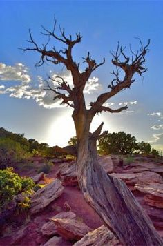 Dead Tree Sunset -  Located in Colorado National Monument outside of Fruita and Grand Junction. Photo By Brian Macstay.