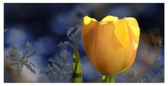 Yellow tulip to bring joy and spring in to the last moments of winter.
