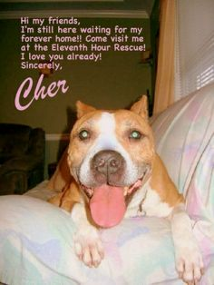 """Cher - Pit Bull Terrier • Adult • Female • Medium Eleventh Hour Rescue Rockaway, NJ  Cher is a beautiful Am Staff mix around 6 years old. She loves to run around with her bone in her mouth and play """"keep away"""" - it's adorable to see. She has a little crooked tail that wags all the time and is so cute. Cher is very good with dogs of all sizes but can be a little uneasy when initially meeting new people. However, once she knows you she is nothing but love."""