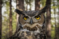 Great Horned Owl in Bend, Oregon.