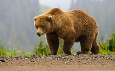 The Yellowstone Grizzly Bear Is About To Lose Its Endangered Status | Care2 Causes