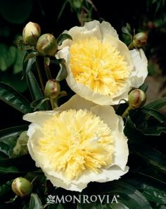 Monrovia's Primevere Peony details and information. Learn more about Monrovia plants and best practices for best possible plant performance.