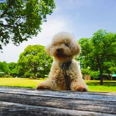 soraとお散歩 「ねえねえ 早くおやつ出して〜」と言ってるのかもw 木陰は気持ちいいよ〜(╹◡╹) * * #愛犬#dog #poodle #toypoodle #トイプードル#love#happy#green #푸들#소풍#わんこ#puppy#강아지#ig_japan #icu_japan_ #team_jp_ #japan_of_insta #japan_daytime_view #park#picnic#japan#goodday#hyogo