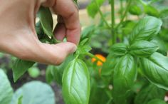 Harvesting Herbs 101 -often the most overlooked part! Useful tips to keep the herbs growing even after harvesting. Vegetable Garden, Garden Plants, Potted Plants, Organic Gardening, Gardening Tips, Basil Plant, Growing Herbs, Fresh Herbs, Agriculture