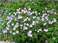 Wild Geranium, Geranium maculatum: I like the showy mound this plant makes. In spring a little shouting color makes up for the end of the bulb season.