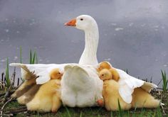 Mother Goose with a little protection
